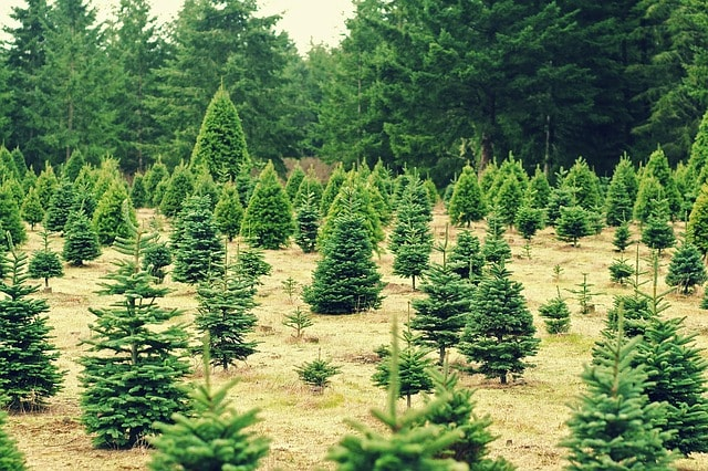 Christmas Traditions for Children: Cut down a Christmas Tree